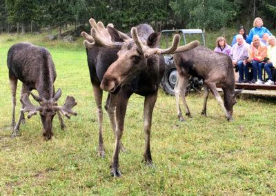 På älgsafarin hos Gårdsjö Älgpark rör sig älgarna fritt kring vagnarna.